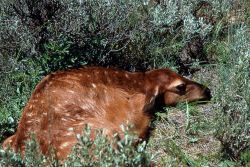 Elk calf a few days old Photo