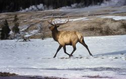 Elk in snow in Upper Geyser Basin Photo