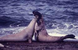 Sea elephants Photo