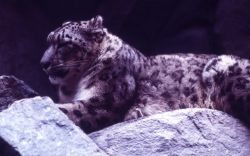 Snow leopard Photo