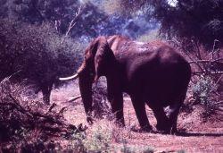 African elephant Photo