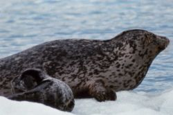 Hair seal with pup Photo