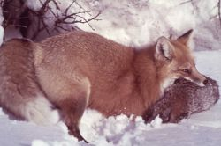 Red fox in the snow Photo