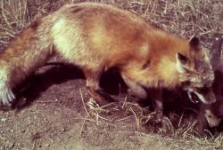 Red fox & pup Photo