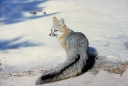 Gray fox at Bryce Canyon National Park Photo