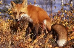Red Fox sitting in grass Photo