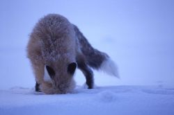 Red fox at Soda Butte Photo