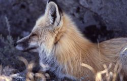 Close up of red fox face east of Phantom Lake Photo