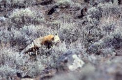 Red fox east of Phantom Lake Photo