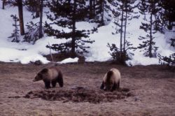 Grizzly bears Photo