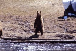 Grizzly bear along the Gibbon River Photo