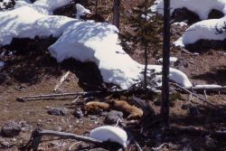 Two grizzly bears sleeping near snow Photo