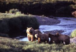 Grizzly bear sow with three cubs Photo