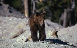 Grizzly bear cub Photo