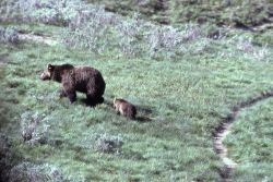 Grizzly bear sow & cub Photo