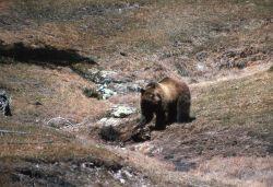 Grizzly bear on an elk carcass near Terrace Spring Photo