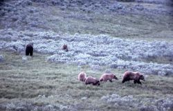 Six grizzly bears in Hayden Valley Photo