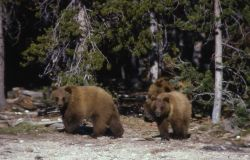 Yearling grizzly bears Photo