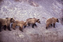 Grizzly bear sows at the Trout Creek dump Photo