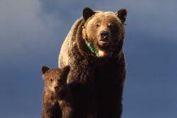 Grizzly bear sow & cub with radio neckband Photo