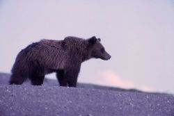 Grizzly bear at the Trout Creek dump Photo