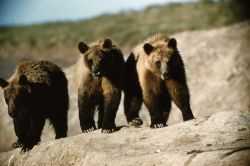 Three grizzly bears Photo