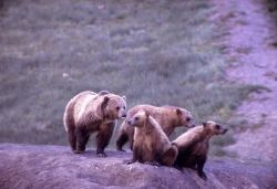 Grizzly bear sow & three cubs Photo
