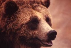 Face of grizzly bear Photo