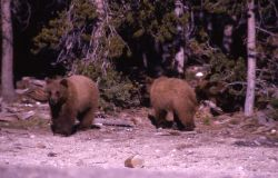 Two yearling grizzly bears Photo