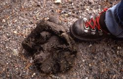 Grizzly bear scat Photo