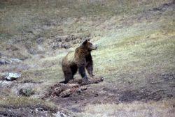 Grizzly bear on elk carcass near Terrace Spring area Photo