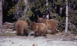 Three yearling grizzly bears Photo