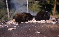 Grizzly bears at Tower Falls dump Photo