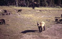 Grizzly bears at Canyon dump Photo