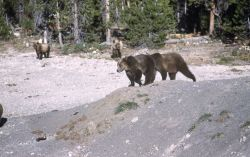 Grizzly bears at Old Faithful dump Photo