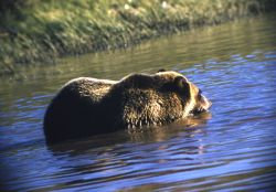 Grizzly bear in Trout Creek Photo