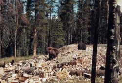 Grizzly bears rummaging in the Old Faithful dump Photo
