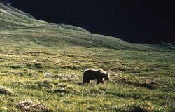 Grizzly bear in grass Photo