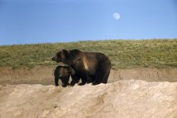 Grizzly bear sow & cub at Trout Creek dump Photo