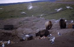 Grizzly bears & gulls at Trout Creek dump Photo