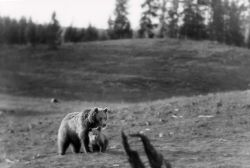 Grizzly bear sow & cub near Lake Yellowstone Photo