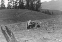 Grizzly bear sow & cubs near Lake Yellowstone Photo