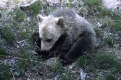 Grizzly bear cub near Tower Falls Photo