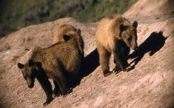 Three grizzly bears at the Old Faithful dump Photo