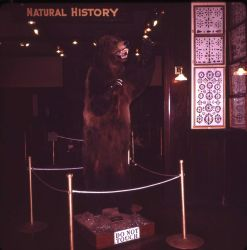 Grizzly bear on display at the West Yellowstone Depot Photo
