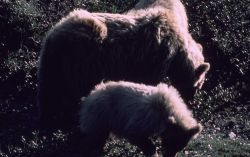 Grizzly bear sow & two cubs Photo