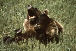 Grizzly bear yawning Photo