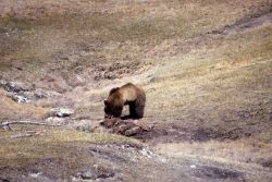 Grizzly bear on elk carcass near Terrace Spring Photo
