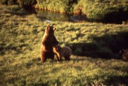 Grizzly bear sow & cub near Trout Creek Photo