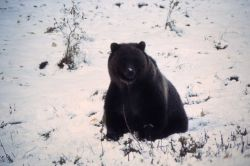 Grizzly bear on snow Photo